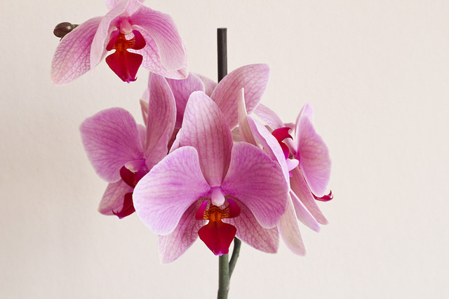 Caring for an Orchid